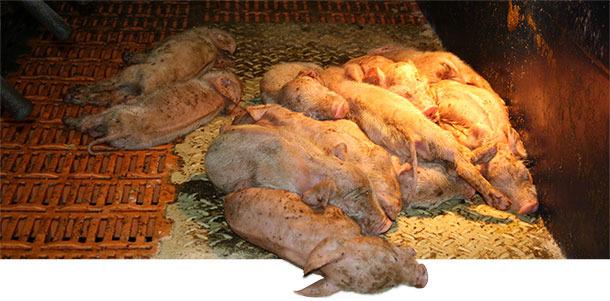 Lechones lactantes gravemente afectados por PEDV en una granja de producción de lechones en el sur de Alemania