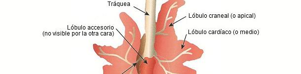 Representación esquemática de un pulmón de cerdo