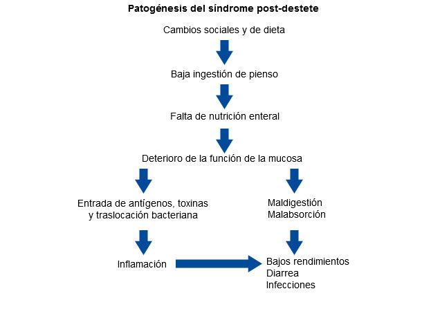 Esquema del efecto del destete sobre la función barrera de la mucosa, los rendimientos y la salud en lechones