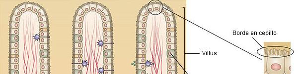 Estructura de la mucosa del intestino delgado