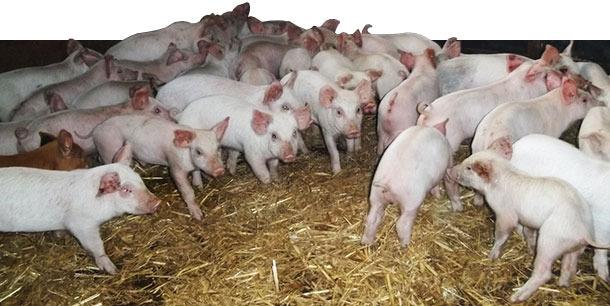 Gran número de animales presentaban un aspecto pálido y perdían su condición rápidamente tras el destete
