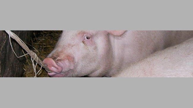 Cerdo de engorde masticando la cuerda.