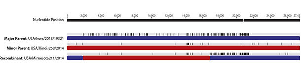 Áreas de recombinación del genoms del PEDV