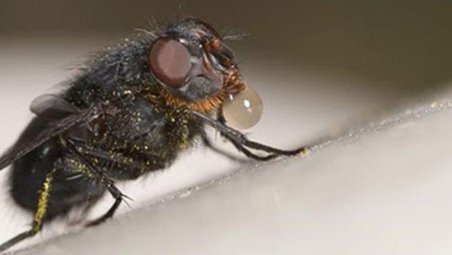 La mosca arroja saliva sobre el alimento para disolverlo y después lo succiona con la trompa