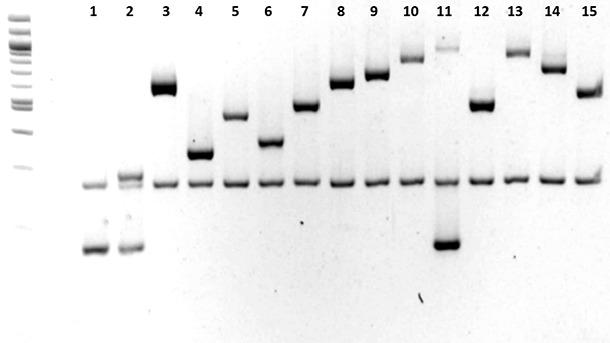 aracterización de los serotipos de Haemophilus parasuis