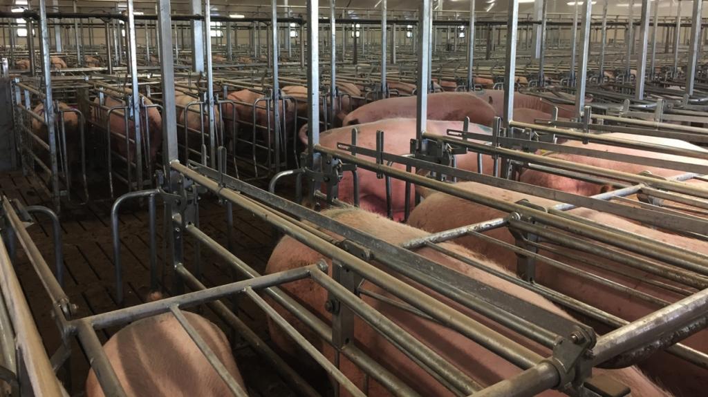Las cerdas destetadas esta semana, siendo preparadas para la inseminación por lotes.