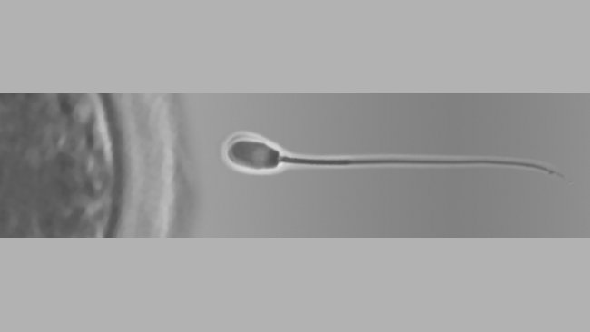 Nueva sección sobre reproducció porcina 1
