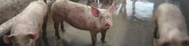 Cerdos de engorde con el corral sucio.
