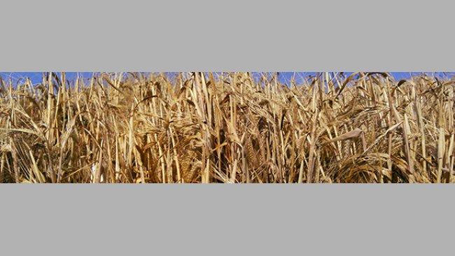 Cultivo de cereal