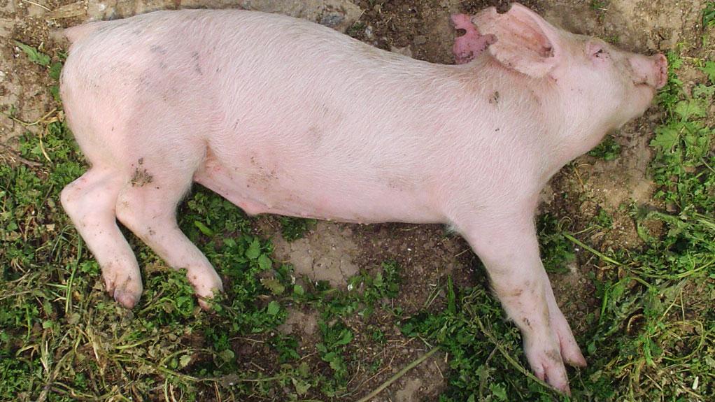 Cerdo de recría con signología nerviosa debido a e 1