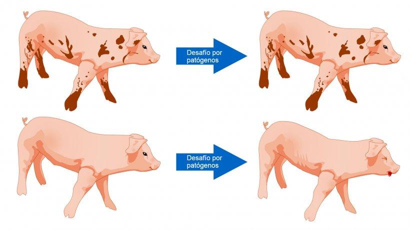Figura 1. Los cerdos expuestos a un ambiente con más microbios están más preparados para tolerar un desafío sanitario como resultado de una comunidad microbiana diversa y un sistema inmune más robusto.