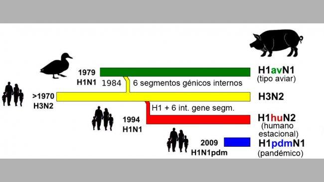 Figura 1. Historia y origen de los virus de influenza porcina tipo A (IAV) que actualmente circulan en Europa. Nótese que ninguno de estos IAV porcinos tiene su origen en el cerdo.