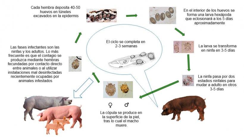 Figura 1. Ciclo biológico de Sarcoptes scabiei
