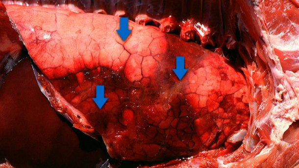 Pleuropneumonia en porcino: áreas consolidadas, edema interlobular y una sutil pleuritis fibrinosa. Cortesía del Dr Robert Desrosiers
