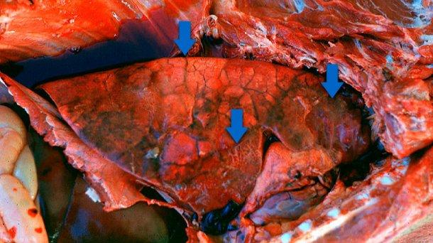 Pleuroneumonía aguda en porcino: Normalmente se pueden observar 3 características (flechas): áreas consolidadas de color rojo-oscuro a negro, edema interlobular y pleuritis fibrinosa. Foto cortesía del Dr Robert Desrosiers.