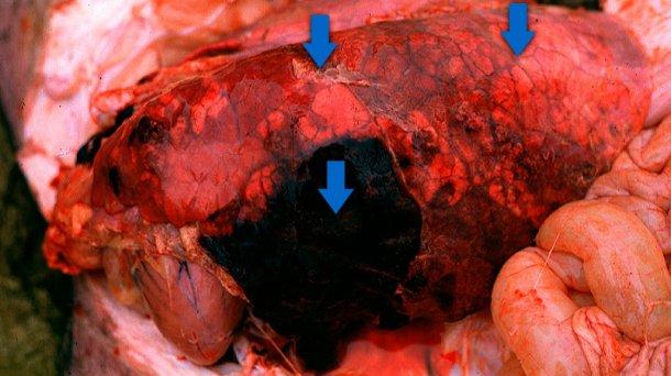 Las 3 características que se suelen observar en la pleuroneumonía aguda en porcino (flechas): áreas consolidadas de color rojo-oscuro a negro, edema interlobular y pleuritis fibrinosa (leve en este caso). Foto cortesía del Dr Robert Desrosiers.