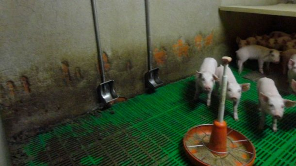 Imagen 3: Bebederos tipo cazoleta. Este tipo de bebederos tienen su principal ventaja en que reducen el desperdicio de agua, reduciendo el purín producido. Por el contrario su correcta colocación en el corral es imprescindible para evitar que se ensucien.