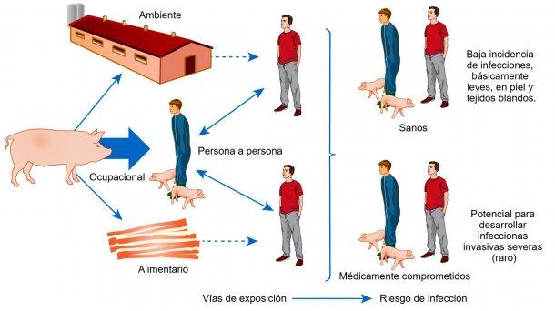 Modelo conceptual de las vías de exposición y riesgos de infección con S. aureus asociado a animales de producción