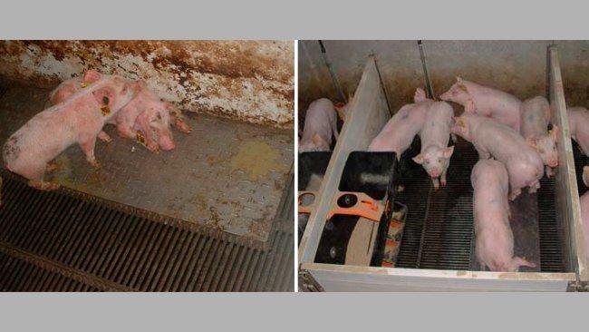 Figura2 – Cerdos criados en condiciones sucias (izquierda) y limpias (derecha) durante la fase de prestarter.