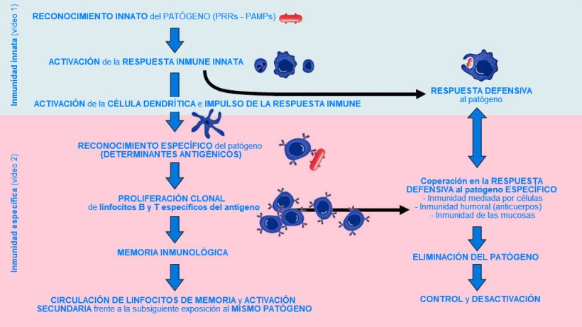 Figura 1. Fase de inicio, activación y progresión de la inmunidad innata y específica contra un patógeno.