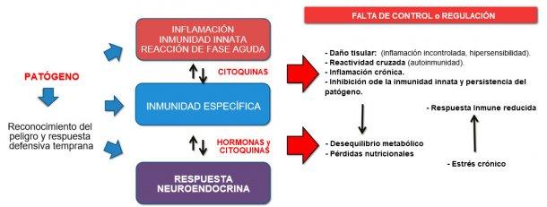 Figura 2b: Interacción entre inmunidad y respuesta neuroendocrina en la evolución no controlada de la inmunidad / inflamación: la inflamación crónica o la infección persistente están asociadas con trastornos metabólicos.