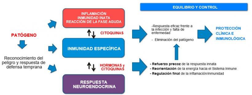 Figura 2a. Interacción entre inmunidad y respuesta neuroendocrina: respuesta inflamatoria e inmune equilibrada y controlada que conduce a la protección clínica e inmunológica.