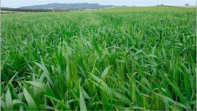 Campo de trigo en Sevilla