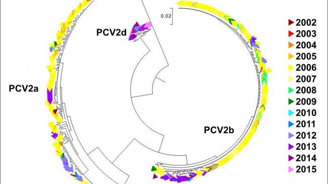 Figura 2. Árbol filogenético de máxima verosimilitud. Las 729 secuencias ORF2 de la base de datos UMV-VDL PCV2 con código de color según el año. Se observan los genotipos.