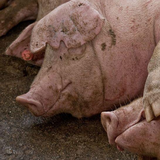 Más de un tercio de la producción ganadera de España se centra en la especie porcina. / Alejandro Arango