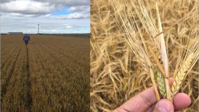 Estado del campo en Castilla y León, previo a la cosecha. Mal rendimiento como consecuencia de las heladas y el defecto de lluvia.