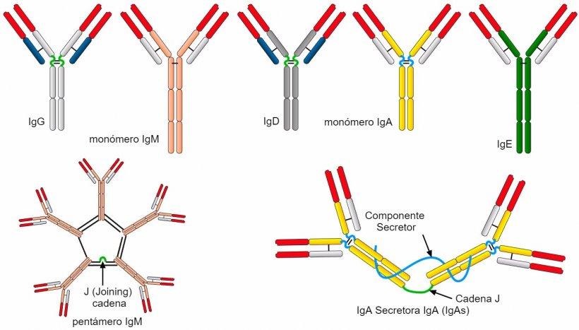 Figura 2. Las diferentes secuencias de aminoácidos de la región de cadena constante pesada (H) caracterizan diferentes clases de anticuerpos o isotipos.
