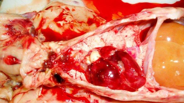 Figura 7. El corazón del lechón de la Figura 3. Observe las hemorragias petequiales en el corazón y los linfonodoshemorrágicos.