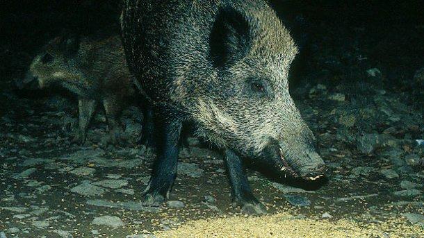El aporte de alimento a jabalíes, sea con fines de caza o de evitación de daños, requiere debate y regulación.