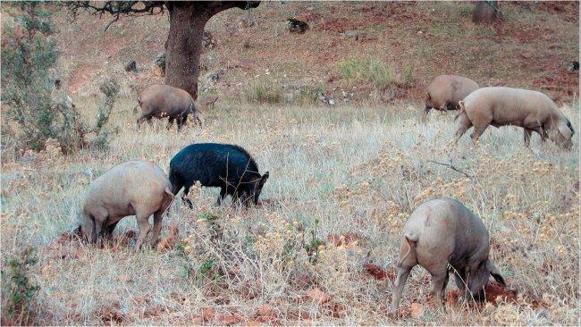 El contacto con jabalíes es más probable en producciones al aire libre, pero algunos patógenos, como los virus de la enfermedad de Aujeszky o de la peste porcina clásica pueden llegar a alcanzar a los cerdos alojados en naves.