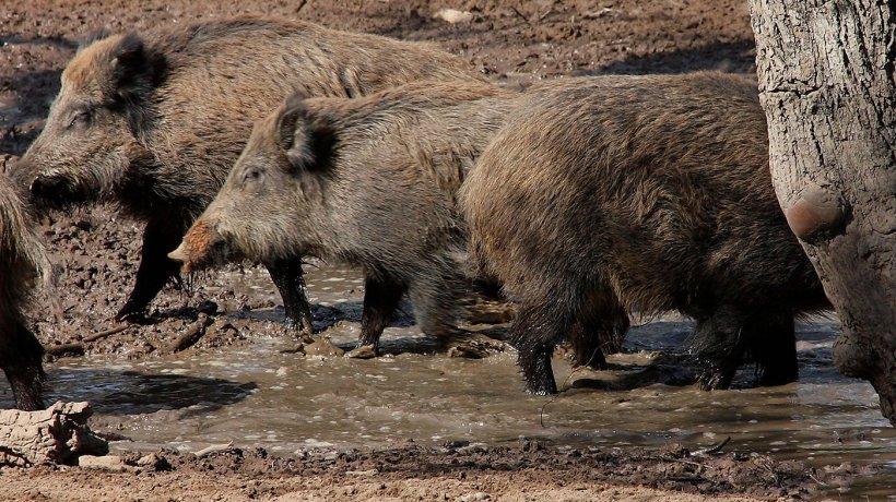 Jabalíes en una baña. El número y la distribución en el espacio de los jabalíes vienen determinados por la disponibilidad del agua y del alimento.