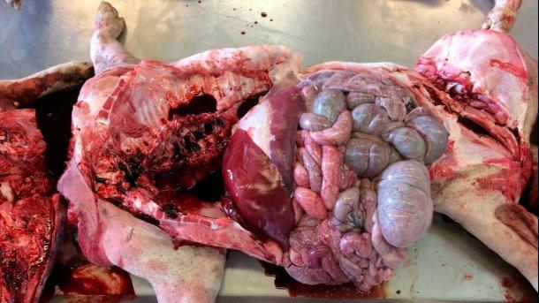 Figura 6a: Necropsia en el laboratorio. Sin hallazgos notables, solo una coloración marrón chocolate de la sangre.