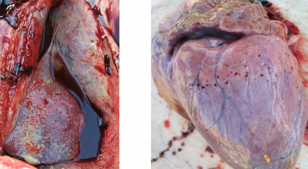 Figura 3-4. Presencia de pleuritis y pericarditis fibrinosa (izquierda). Hemorragia petequial en el corazón (derecha).