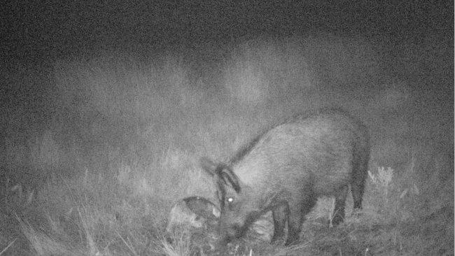 Foto 4: El foto-trampeo permite revelar el uso que los jabalíes hacen de los cadáveres y de los residuos de caza. Es importante evitar que los restos resulten accesibles a jabalíes.