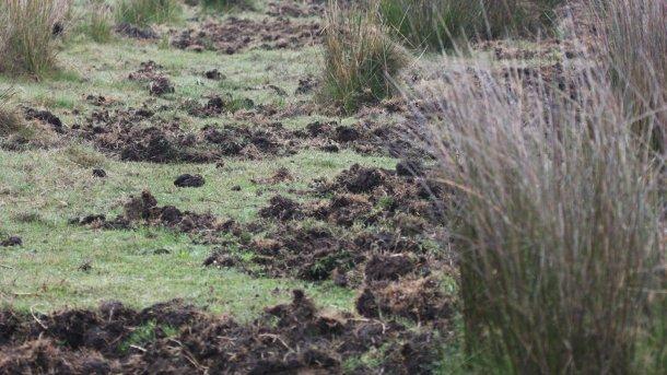 Foto 1: Las hozaduras indican la presencia de jabalíes. Es preferible instalar nuevas explotaciones porcinas lejos de zonas forestales o riberas, así como de maizales y regadíos