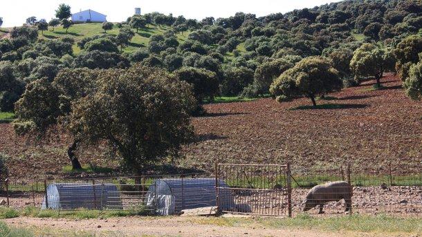 Foto 2: Un cerdo mantenido tras un simple vallado y en zona forestal. La probabilidad de contacto con jabalíes es elevada.