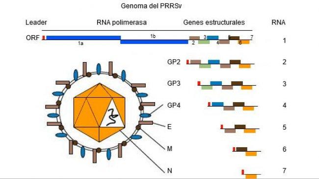 Figura 1. El genoma del virus PRRSes una molécula de ARN monocatenario.