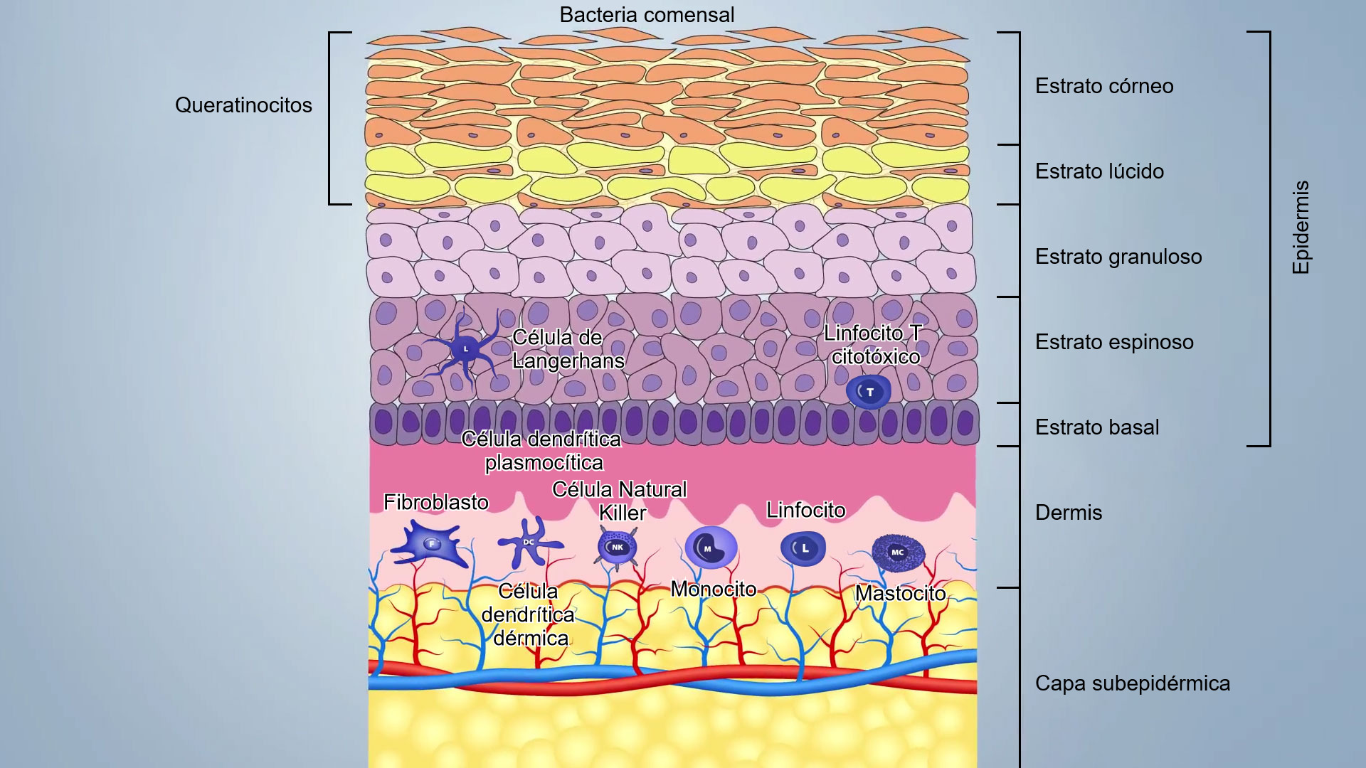 Artículos : El sistema inmunitario y la inmunidad en el cerdo: la ...