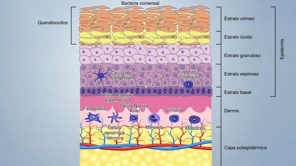 Figura 1. Esquema de las capas de la piel.