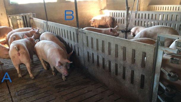 Foto 2. Corral para entrenar a las primerizas para entrar y salir de la estación de alimentación. El lado A sólo tiene bebederos y en el B está el comedero. Para animar a que las cerdas pasen de un lado a otro, el pienso se coloca de un lado (B) y en el lado A sólo hay bebederos.