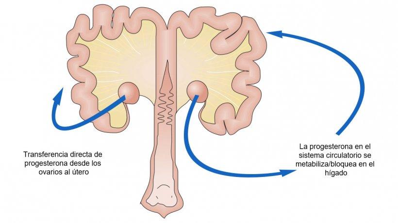 Imagen 1. Esquema del paso de progesterona desde el ovario.