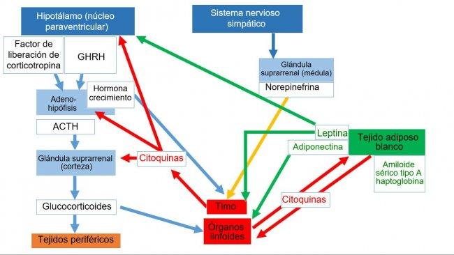 *Sistema neuroendoinmuneACTH: hormona adrenocorticotropa * GHRH: hormona liberadora de la hormona del crecimiento