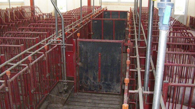 Las puertas en los pasillos delanteros deben cerrar cada 5 jaulas, así permiten recelar e inseminar grupos de 10 cerdas.