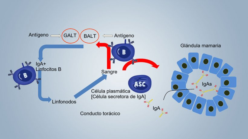 Figura 1. Esquema de la inmunidad lactogénica.