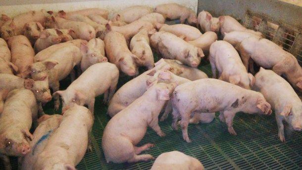 Figura 1. Corral de cerdos en transicióncon una densidad excesiva que muestran signos clínicos de pérdida de condición corporal.