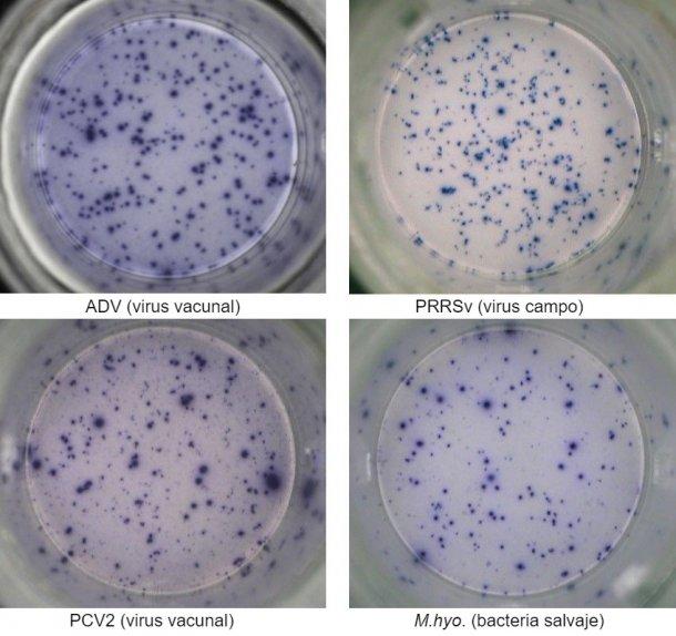Figura 1. Respuesta IFN-γ ELISPOT antígeno-específica en PBMC frente a patógenos porcinos. ADV: Virus de la enfermedad de Aujeszky; PRRSv: Virus del Síndrome Reproductivo y Respiratorio Porcino; PCV2: circovirus porcino tipo 2; M.hyo.: Mycoplasma hyopneumoniae. Cada punto está causado por la secreción de IFN-γ por los linfocitos T de memoria/efectoresreactivados. Entre paréntesis se indica el patógeno utilizado para reactivar las células en los pocillos.